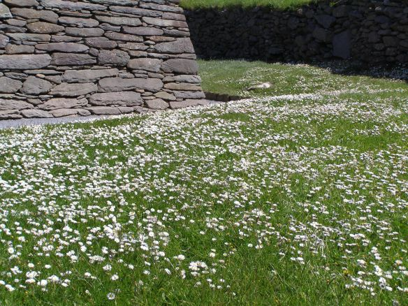 Gänseblümchenwiese beim Gallarus Oratory in Irland