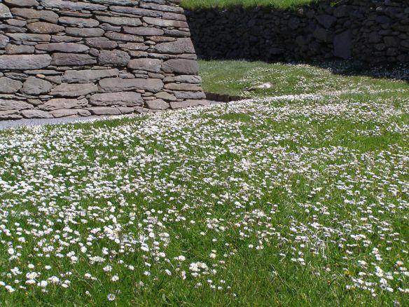 Blühende Wiese in Irland