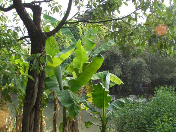 Bananenstauden in einem Garten in Wuzhen