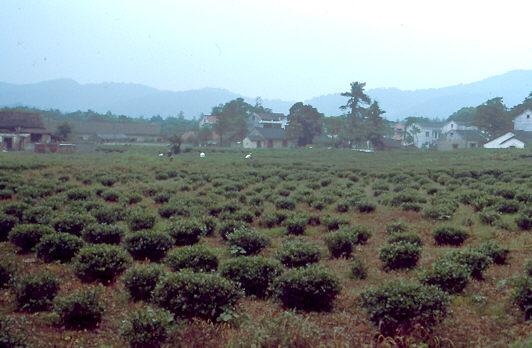 Teeplantage bei Hangzhou