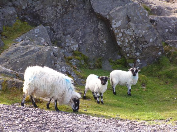 Schafe am Connorpass 2009